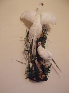 white pheasants 003