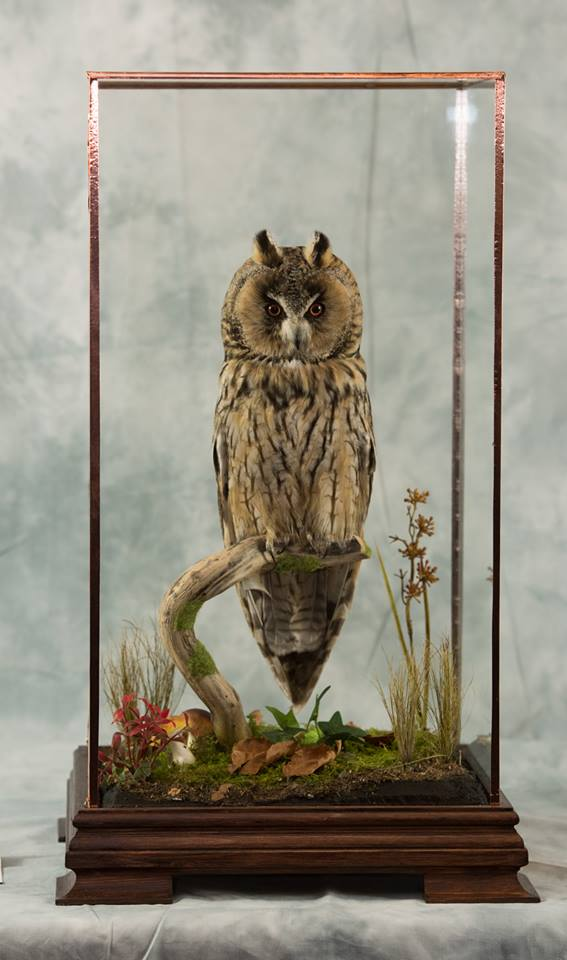 long eared owl aug 2017
